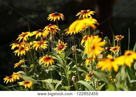 Yellow coneflowers in a garden