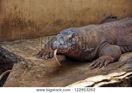 A large Komodo dragon, Varanus komodoensis. Taken in Indonesia
