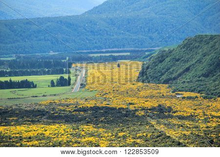 Beautiful yellow flowers blooming in summer in Mount Aspiring National Park, Southern Alps, New Zealand
