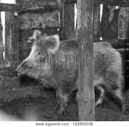 Boar Female Portrait