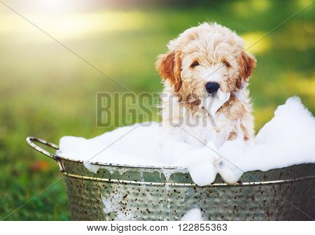 Adorable Cute Pupppy. Goldern Retriever Puppy taking a Bubble Bath