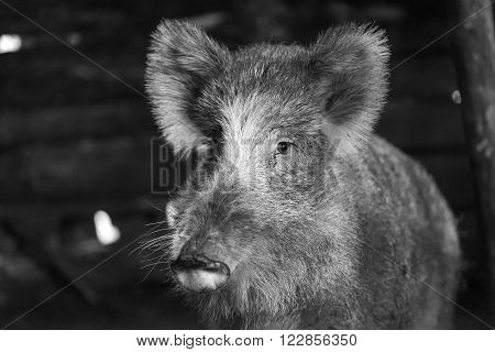 Boar female portrait. Wild pig living in european forest.