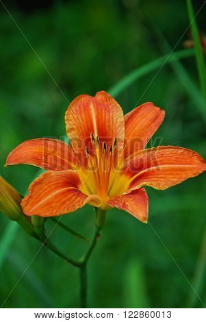 Beautiful Lilium philadelphicum in a natural environment