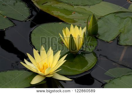 Trio yellow lotus on a dark mirrored water
