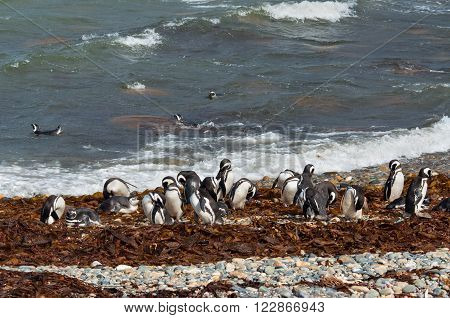 Colony of Magellanic penguins in Patagonia clean on the shore Chile South America