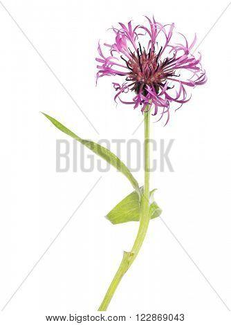 dark pink cornflower isolated on white background