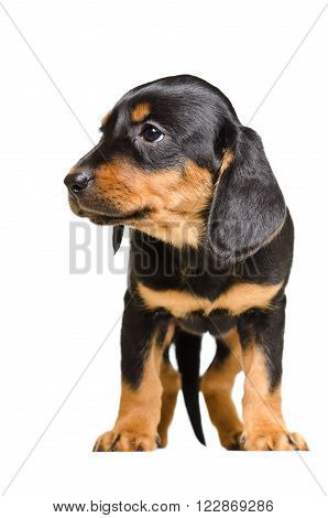 Adorable puppy breed Slovakian Hound isolated on white background