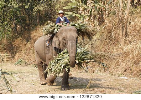 CHIANG MAI THAILAND - March 13: 15th Annual National Thai Elephant Day Elephants bring food back home in elephants festival at maesa elephant camp Mar 13 2014 Chiang Mai Thailand.