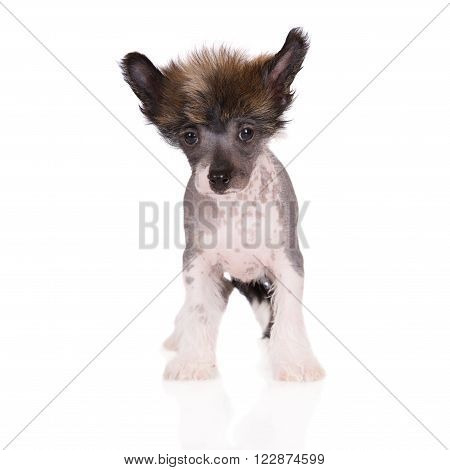 adorable chinese crested puppy posing on white