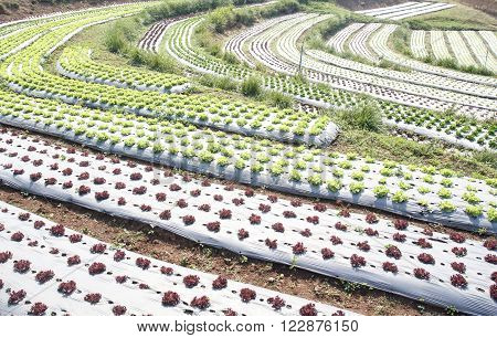 Vegetable garden ,with plastic film protected in land,The plastic film used vegetable insulation and prevent soil erosion