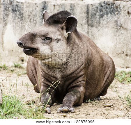 South American tapir - Tapirus terrestris - beauty in nature