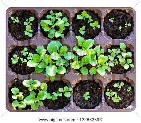 Seedlings in the spring. Flower seedling. Isolated on white