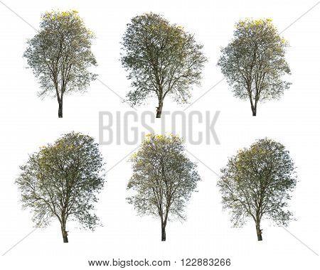set of golden tree tabebuia isolated on white background