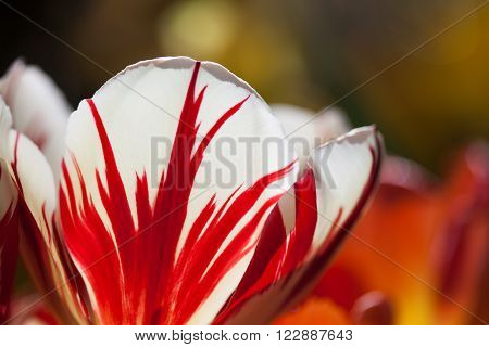 Red white colorful tulip flower unusual petal pattern. Macro view natural flowers petals. Bright nature concept. soft focus blurry background ** Note: Shallow depth of field