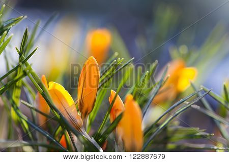 Orange crocus flowers macro view. Spring time landscape. Soft and blur background macro view. shallow depth of field.