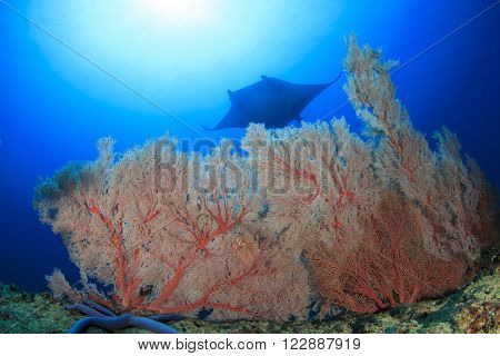 Coral reef with manta ray coming over top