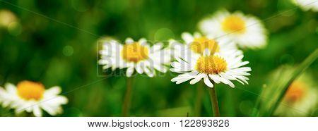 Beautiful daisy flowers.White daisy flower at garden.