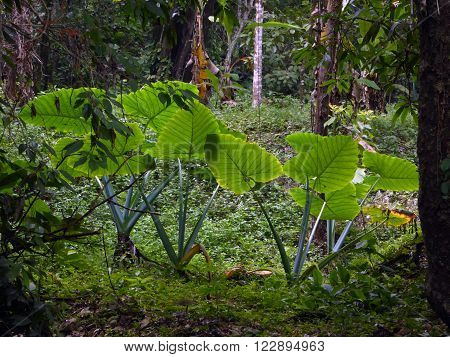 Several huge Taro plants as seen in the jungle surrounding the Palenque Mayan site Chiapas Mexico.