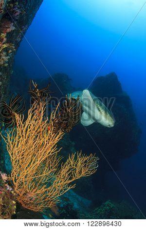 Leopard Shark (Zebra Shark) and corals