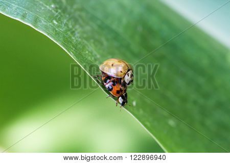 This are two ladybug at the pairing.