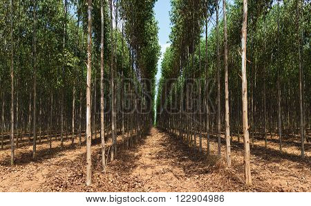 Picture nature rural landscape with eucalyptus photo