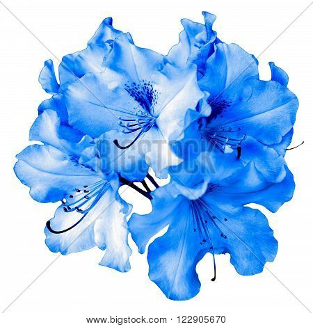Bush of natural blue pelargonium flowers isolated on white