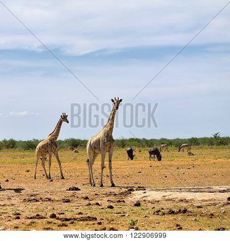 Etosha National Reserve, Namibia