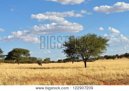 Beautiful landscape with a gemsbok (Oryx gazella) and acacia trees the Kalahari desert Namibia Africa