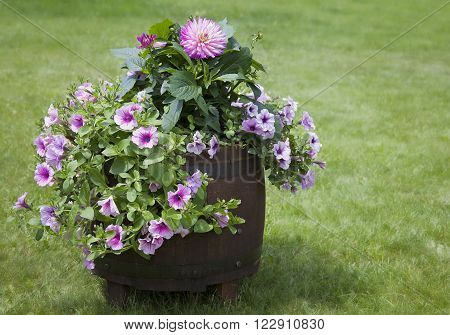Decorative whiskey barrel overflowing with beautiful petunia and dahlia flowers.