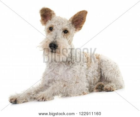 female fox terrier in front of white background