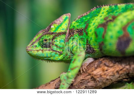 Green Chameleon On A Branch Looking At The Camera Close-up