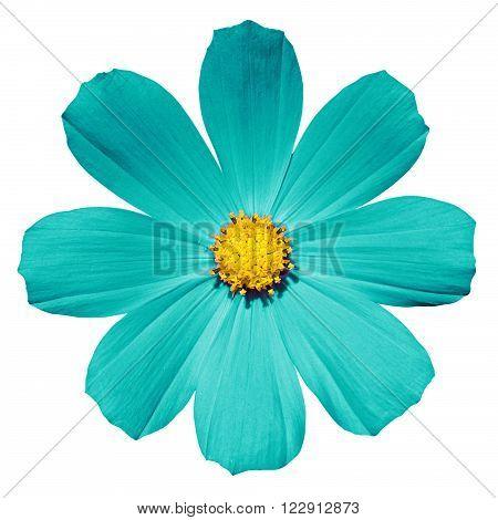 Turquoise flower Primula isolated on white photo