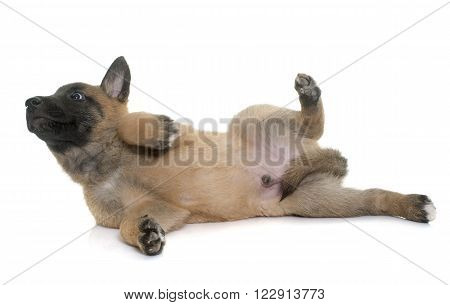 puppy belgian shepherd malinois in front of white background