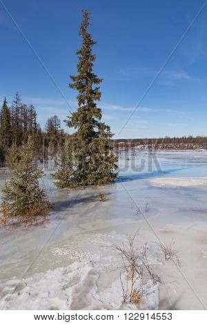 Spruce on the river covered ice crust on a clear spring day