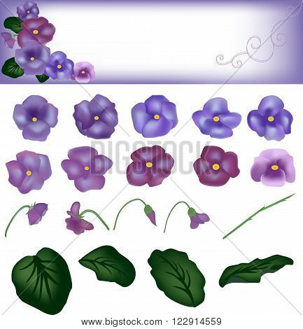 Violet flowers with round leaves, a card with design from flowers, a plant with violet petals, house flora, a stalk green, a flower core yellow, small florets pansies