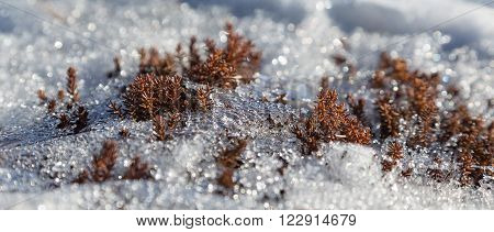 small bushes protrude from the melting snow