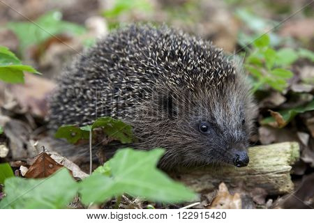 Hedge hog in the woods