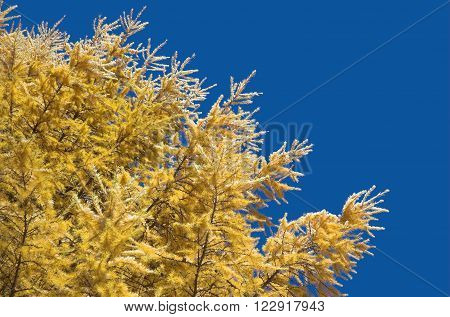 Larch branches against the blue sky. Winter.