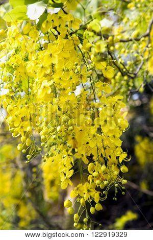 Royal Flora Ratchaphruek (Cassia fistula) golden shower tree