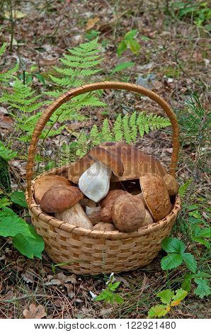 Wicker basket full of mushrooms. Ceps (Boletus edulis) against green forest background.