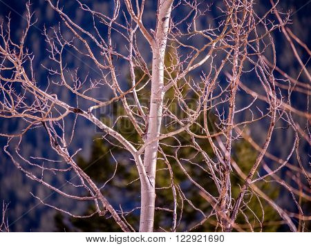 Aspen tree with budding branches in Spring