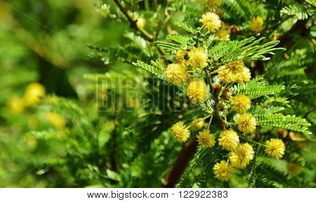 Close up of yellow flowers on mimosa tree