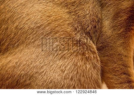 Abyssinian short haired cat red fur texture