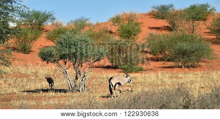 A Gemsbok (Oryx gazella) with calf in the Kalahari desert Namibia Africa