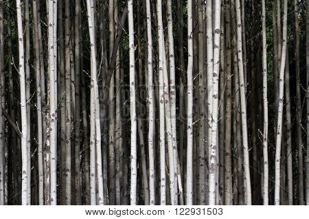 White Aspen Tree Trunks for background use