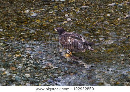 Bald eagle catching salmon fish at hyder Alaska