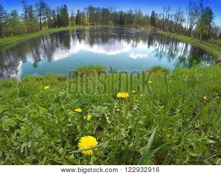 The first spring flowers dandelions on the bank of the lake a lens a fish eye