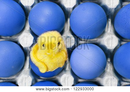 the toy chicken sits in a shell of an Easter egg among blue Easter eggs