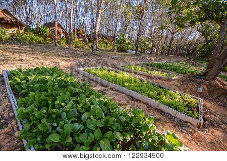 Salad farming next to rubber trees plantation