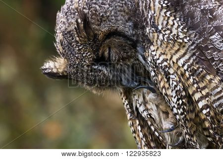Great Horned Owl BC Canada close up